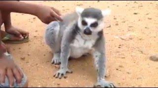 The real King Julien (Madagascar)