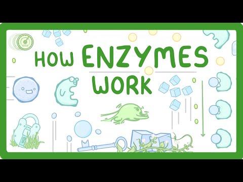 GCSE Biology - Factors that Affect Enzymes  #12