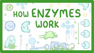 GCSE Biology - Factors that Affect Enzymes  #12
