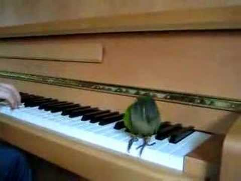 The Birdie Song – Georgie the Green Cheeked Conure Dancing!
