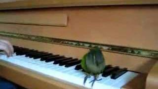 The Birdie Song - Georgie the Green Cheeked Conure Dancing!