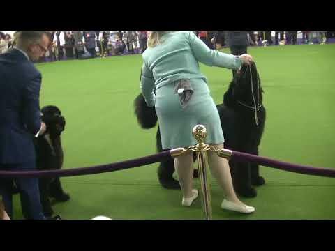 Newfoundland Westminster dog show on 13th February 2018 b
