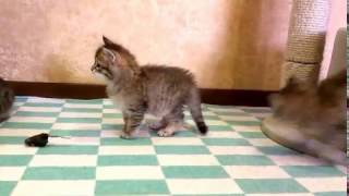 Сибирским котятам 1 месяц.