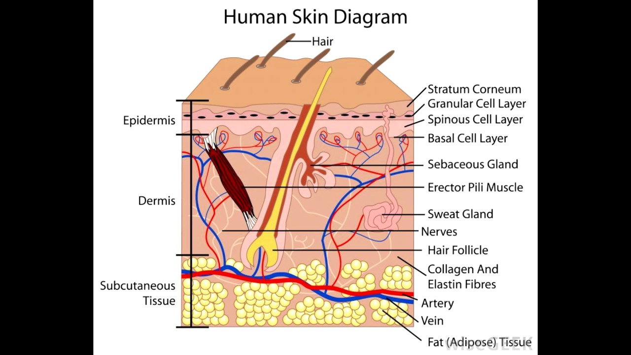 hight resolution of structure of the skin
