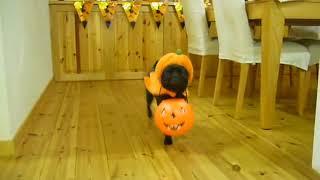 パンプキンチョコちゃんがかぼちゃのバケツを運びます♪♪ CAPP活動での一...