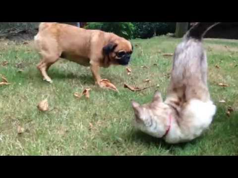 Wags the pugalier and cat tango