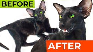 Oriental Kitten vs Cat  Oriental Shorthair Breed