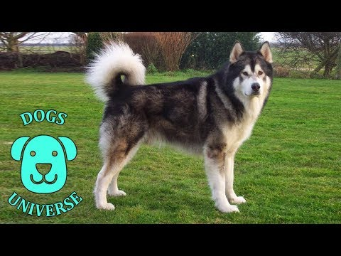 ALASKAN MALAMUTE ► Characteristics and temperament 🐶