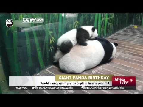 Guangdong, China: World's only giant panda triplets turn a year old