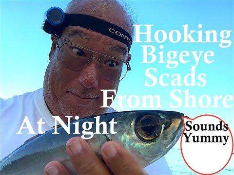 How To Hook Bigeye Scad Akule!