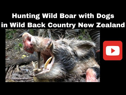 Wild Boar Hunting with dogs