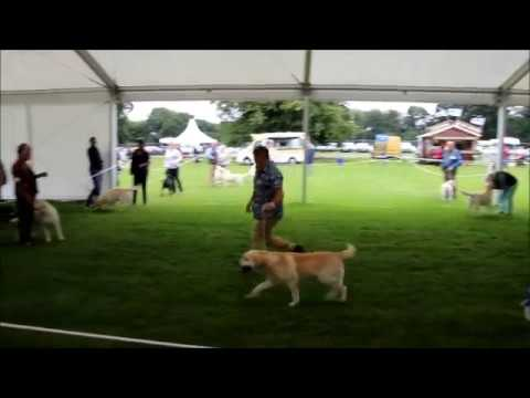 Leeds dog show, Labrador, July 21, 2017