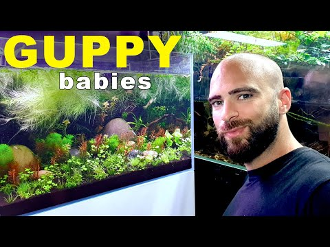 Fish Are Friends (Guppy Babies)   MD FISH TANKS