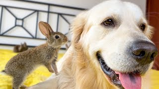 Baby Bunnies and Golden Retriever - Amazing Friendship