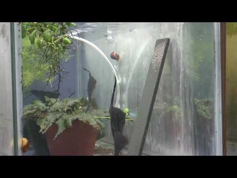 Black Lace Angelfish Breeding Pair 1600