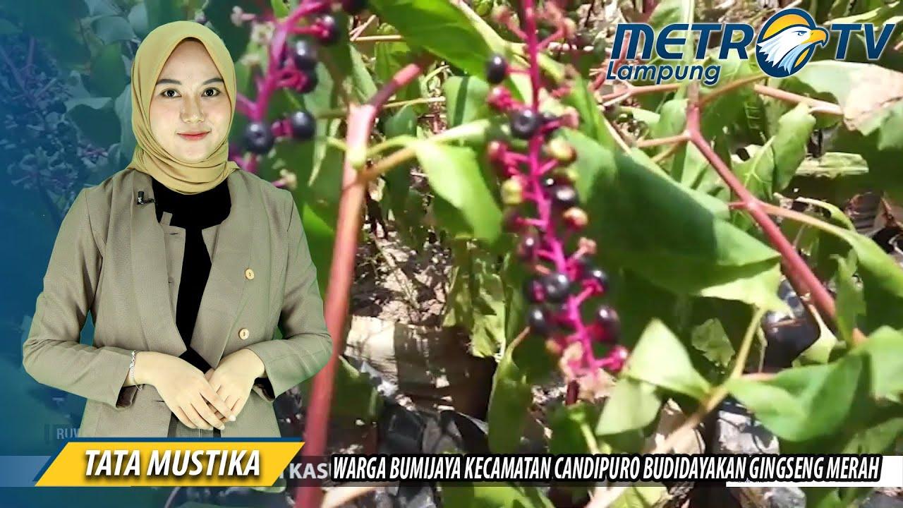 Warga Bumijaya Kecamatan Candipuro Budidayakan Gingseng Merah Youtube