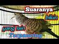 Suara Pancingan Perkutut Mendayu  Mp3 - Mp4 Download