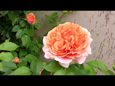 Мои розы Пэт Остин Краун Принцесса Маргарет с 20 по 22 мая 2019 год