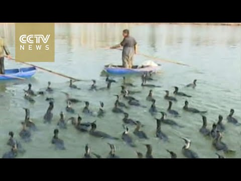 Cormorants Fishing With The Fisherman In S.China