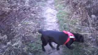 Labrador Szila Jogging
