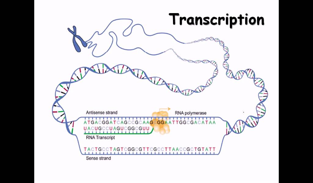15 Rna Structure And Rna Synthesis Youtube
