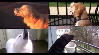 Repeat youtube video Dogs Imitating Sirens Supercut