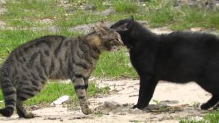 Весенние разборки котов ! (15.04.2015)