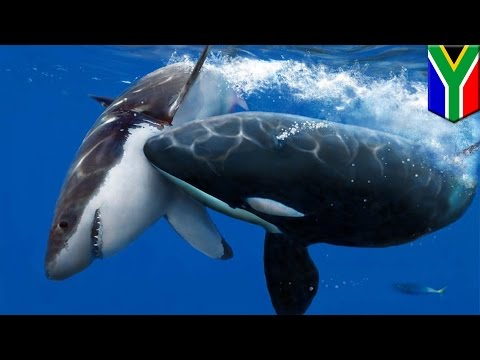 Killer whale vs great white shark: Orcas hunt for shark liver off coast of South Africa - TomoNews