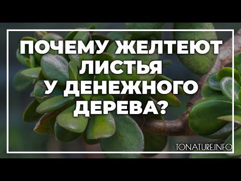 Почему желтеют листья у денежного дерева? | toNature.Info