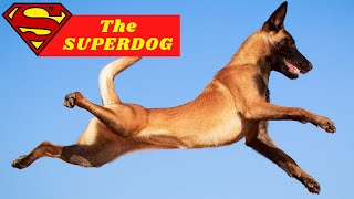 BELGIAN MALINOIS Top 10 FACTS  AKA The SUPERDOG!!!