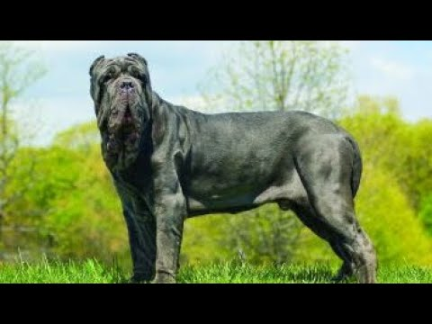 Neapolitan Mastiff Powerful Massive Defender