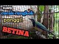 Cucak Cungkok Burung Cungkok Jantan Memanggil Betina  Mp3 - Mp4 Download