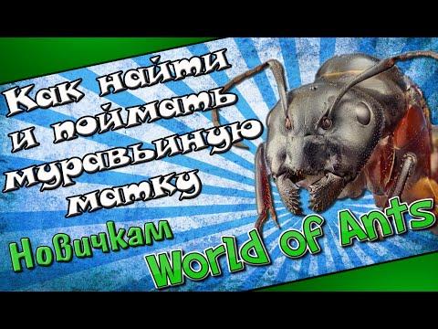 Как найти и поймать муравьиную матку. Поиск муравьиной матки.