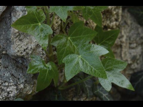 Плющ – полезные свойства, размножение и выращивание плюща