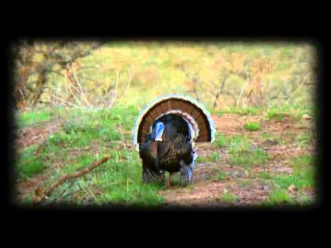 Merriam Turkey Hunting In Wyoming At Seven J Outfitters