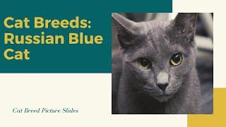 Russian blue Slides  Cat Breeds