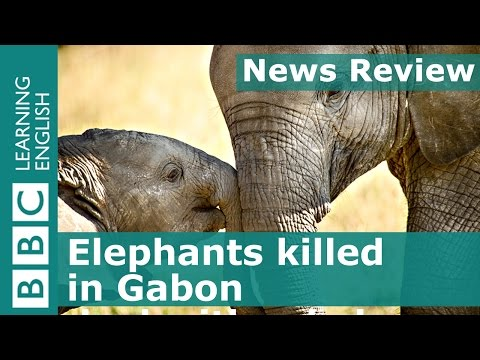 BBC News Review: Elephants killed in Gabon