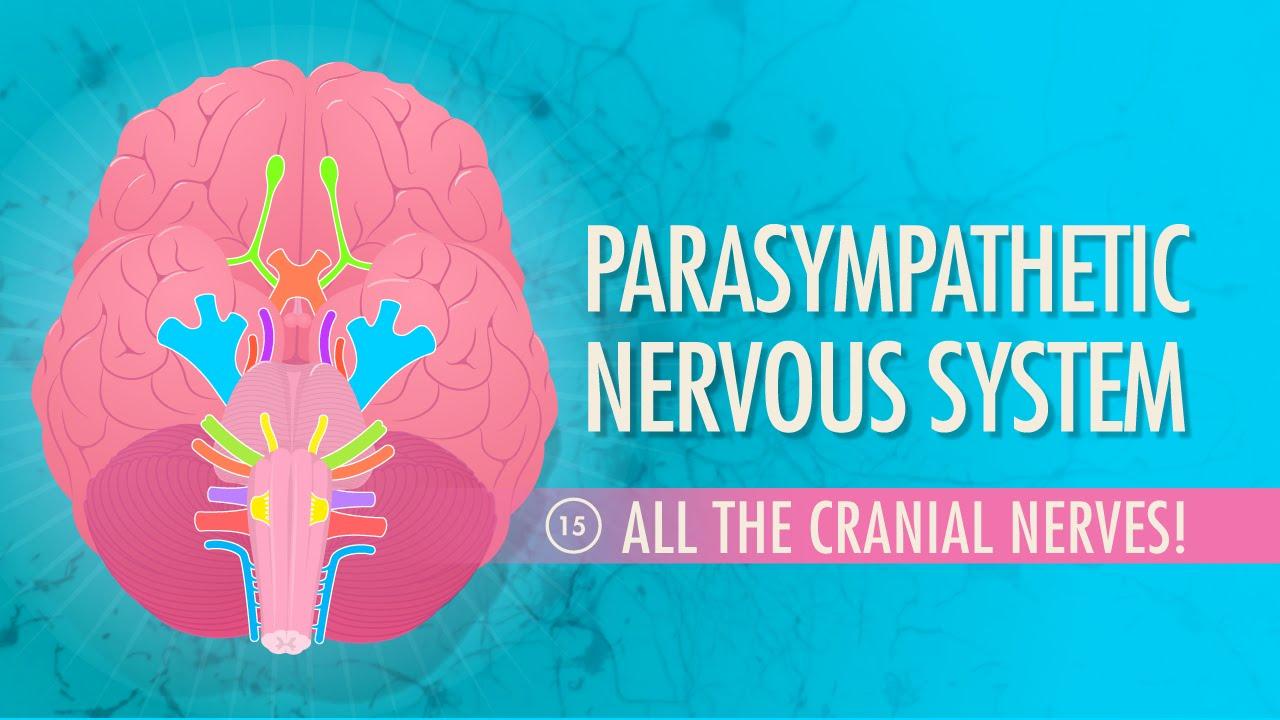 Parasympathetic Nervous System: Crash Course A&P #15 - YouTube
