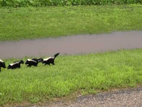 Skunks walking up the road to me