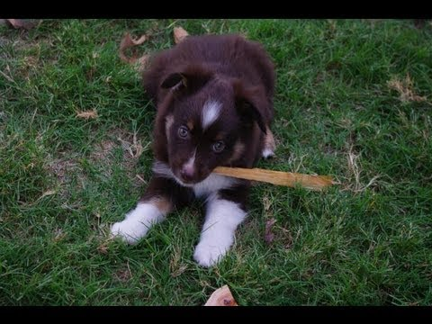 Time Lapse Puppies - Miniature Australian Shepherd