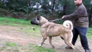 TURKISH SHEPHERD DOG TÜRK ÇOBAN KÖPEĞİ