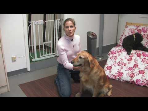Dog Breeds : How to Select a Golden Retriever