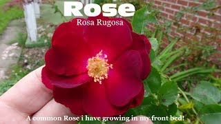 Gambar cover ⟹ ROSE | ROSA RUGOSA | These are the roses growing in the front yard bed