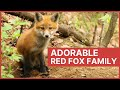 Red Fox Mother and Her Baby Kits Playing