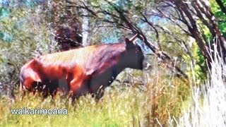 Repeat youtube video Hunting wild bull in New Zealand part 1(bow hunting)