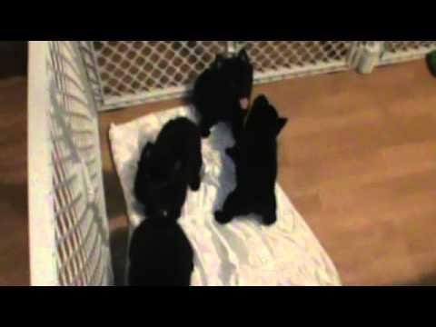 Schipperke Pups Playing
