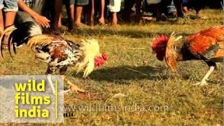 Cock fighting: cruel sport or cultural entertainment in Timor?