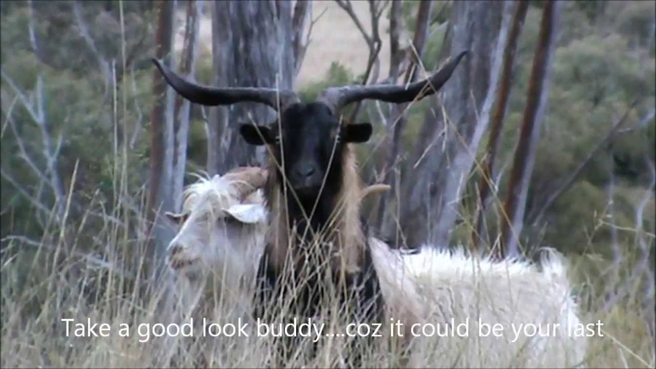 R Goats Bow Hunting Feral Goat...