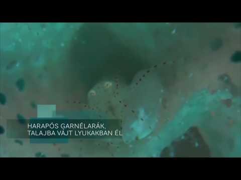 Pisztoly garnélarák - Búvárbázis.hu