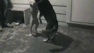 Dogs Playing, Blue Heeler Vs Pitbull Mix